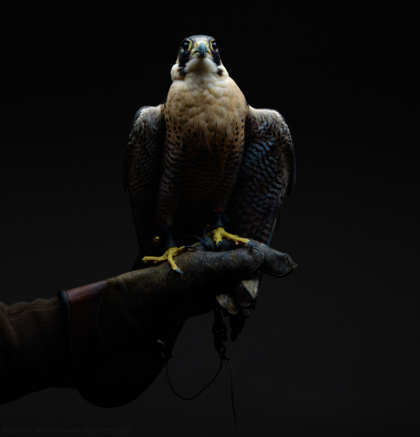 Peregrine Falcon photographed in the studio