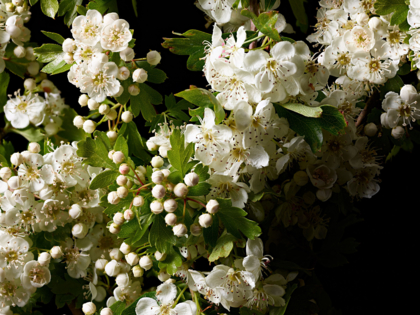 Hawthorn Blossom close up