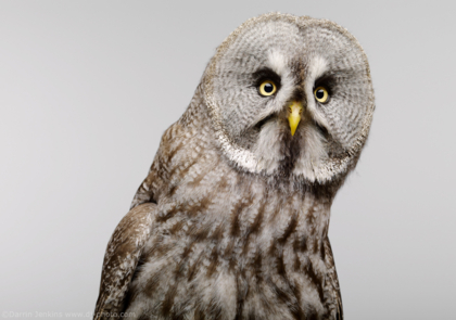 Great Grey Owl photographed in the studio