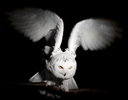 Owls visit the studio