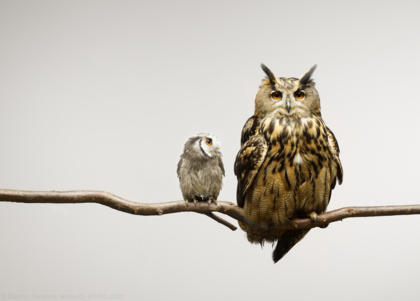 Scops and Eagle Owls photographed in the studio