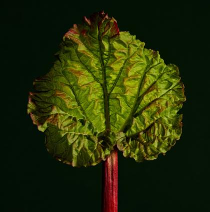 Young Rhubarb leaf