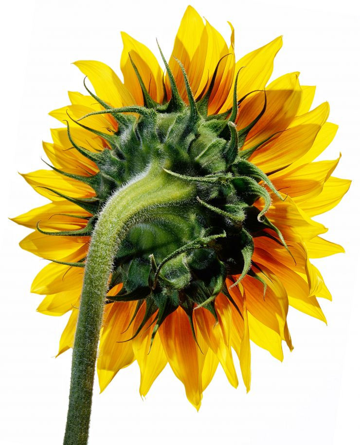 Sunflower photograph nature yellow flower